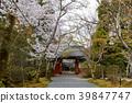樱花 樱桃树 春天 39847747