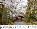 樱花 樱桃树 春天 39847748