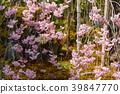 樱花 樱桃树 春天 39847770