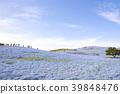 The hill of Nemophila 39848476
