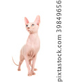 Gracious sphinx cat standing and looking up 39849656