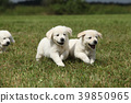 Beautiful group of golden retriever puppies 39850965