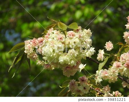 Turmeric cherry blossoms in full bloom 39851221
