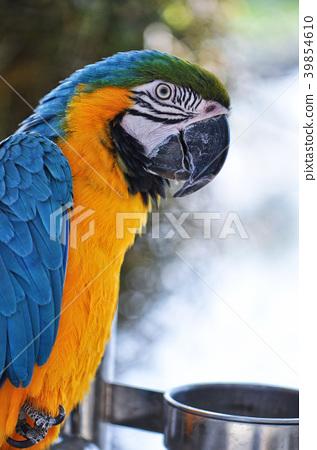 靛藍黃金金剛鸚鵡金剛鸚鵡 39854610