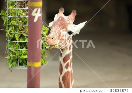 giraffe 39855873