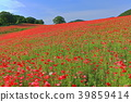 poppy, poppy field, flower garden 39859414