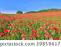 poppy, poppy field, flower garden 39859417