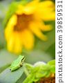 向日葵和雨蛙 39859531