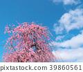ดอกพลัม (สวน Inabe Shi Bairin) จังหวัดมิเอะ 39860561