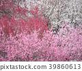 ลูกท้อ,บ๊วย,ดอกท้อญี่ปุ่น 39860613