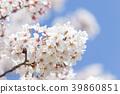 벚꽃 39860851