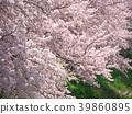 ดอกซากุระบาน,ซากุระบาน,ดอกไม้บานเต็มที่ 39860895