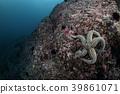 불가사리, 수중, Diving 39861071