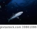 鯊魚 魚 巴哈馬 39861086