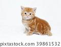 사탕 쇼 고양이 39861532