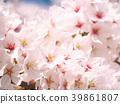 ดอกซากุระ (ร่องรอยจังหวัดนาราของพระราชวังฟูจิวาระ) 39861807