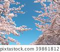 ดอกซากุระ (ร่องรอยจังหวัดนาราของพระราชวังฟูจิวาระ) 39861812