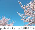 ดอกซากุระ (ร่องรอยจังหวัดนาราของพระราชวังฟูจิวาระ) 39861814