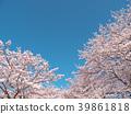 ดอกซากุระ (ร่องรอยจังหวัดนาราของพระราชวังฟูจิวาระ) 39861818