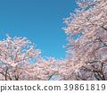 ดอกซากุระ (ร่องรอยจังหวัดนาราของพระราชวังฟูจิวาระ) 39861819