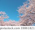 ดอกซากุระ (ร่องรอยจังหวัดนาราของพระราชวังฟูจิวาระ) 39861821