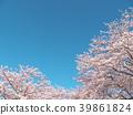 ดอกซากุระ (ร่องรอยจังหวัดนาราของพระราชวังฟูจิวาระ) 39861824