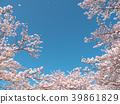 ดอกซากุระ (ร่องรอยจังหวัดนาราของพระราชวังฟูจิวาระ) 39861829