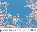 ดอกซากุระ (ร่องรอยจังหวัดนาราของพระราชวังฟูจิวาระ) 39861834