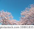 ดอกซากุระ (ร่องรอยจังหวัดนาราของพระราชวังฟูจิวาระ) 39861835