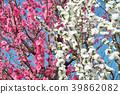 ลูกพีช,ดอกพีช,ฤดูใบไม้ผลิ 39862082