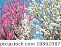ลูกพีช,ดอกพีช,ฤดูใบไม้ผลิ 39862087