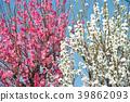 ลูกพีช,ดอกพีช,ฤดูใบไม้ผลิ 39862093
