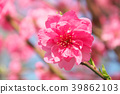 ลูกพีช,ดอกพีช,ฤดูใบไม้ผลิ 39862103