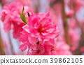 ลูกพีช,ดอกพีช,ฤดูใบไม้ผลิ 39862105