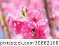 ลูกพีช,ดอกพีช,ฤดูใบไม้ผลิ 39862108