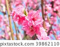 ลูกพีช,ดอกพีช,ฤดูใบไม้ผลิ 39862110