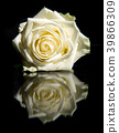 White rose with reflection on a black background 39866309