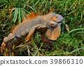 Pretty orange male iguana resting in a tree 39866310