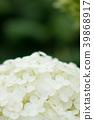 수국, 자양화, 꽃 39868917