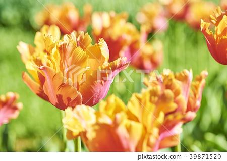 鬱金香 花朵 花 39871520