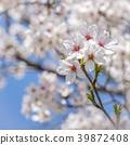 Cherry blossom flower 39872408