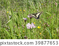 Macaone butterfly resting on a flower  39877653