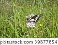 Macaone butterfly resting on a flower  39877654