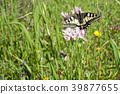 insect, butterfly, swallowtail 39877655