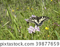 insect, butterfly, swallowtail 39877659