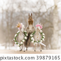 red squirrel in split between horses with crowns 39879165