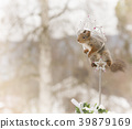 red squirrel on an cane in a crown 39879169