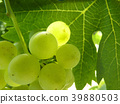 Close Up of Ripe Grape Cluster on Vine 39880503