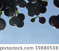 Close Up of Blue Grape Cluster in Sunset 39880508