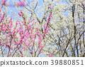 봄, 만개, 활짝 핌 39880851